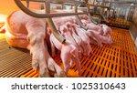 Swine farming   parent swine...