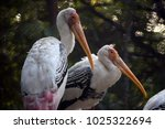 Two Pelicans Sitting On Branch.