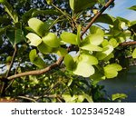 Small photo of The fresh green-yellowish fruits of Malayan Terminalia (Terminalia subspathulata) are flat, two-winged. They are scattered by wind when ripened.