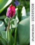 red tulips on flowerbed in... | Shutterstock . vector #1025355208