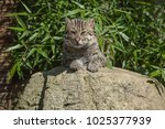 photo of a fishing cat resting... | Shutterstock . vector #1025377939