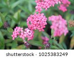 pink flowers in the garden. | Shutterstock . vector #1025383249