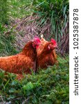 Small photo of Two chickens sit in the grass, the concept of agro tourism and rural recreation