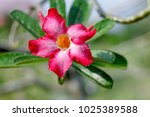 Stock photo pink flower adenium with drops after rain focus on petal 1025389588