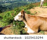 cows graze in the mountains of... | Shutterstock . vector #1025413294