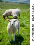 lamb grazing on the south downs ... | Shutterstock . vector #1025431660