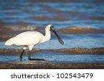 an australian royal spoonbill ... | Shutterstock . vector #102543479