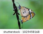 danaus chrysippus  also known... | Shutterstock . vector #1025458168