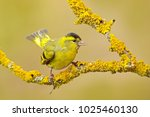 Yellow bird eurasian siskin ...