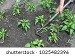 gardener pull up weeds with a... | Shutterstock . vector #1025482396