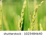 image of rice bug  leptocorisa... | Shutterstock . vector #1025484640