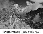 dead white laurel trees after... | Shutterstock . vector #1025487769