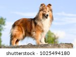 Stock photo stunning smart nice fluffy sable white and trocolor shetland sheepdog sheltie lies on the rock on 1025494180