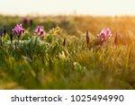 wild violet iris flower growing ... | Shutterstock . vector #1025494990