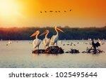 pelican colony in danube delta... | Shutterstock . vector #1025495644