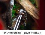 frilled neck lizard reptile... | Shutterstock . vector #1025498614