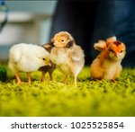 four small chickens on the... | Shutterstock . vector #1025525854
