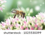 Bee On A Flower Of The Sedum ...
