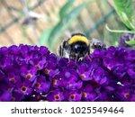 Bumblebee Sitting On A Purple...