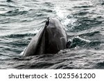 humpback whale  megaptera... | Shutterstock . vector #1025561200