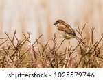 male or female house sparrow or ... | Shutterstock . vector #1025579746