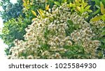 clove tree with blooming... | Shutterstock . vector #1025584930