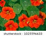 Bright Nasturtium Flowers With...