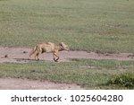 fox running in africa  tanzania | Shutterstock . vector #1025604280