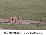 fox running in africa  tanzania | Shutterstock . vector #1025604283
