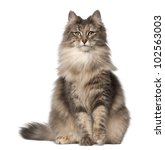 Stock photo portrait of norwegian forest cat and a half years old sitting in front of white background 102563003