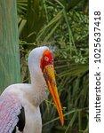 a large yellow billed stork ...   Shutterstock . vector #1025637418