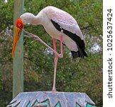 a large yellow billed stork ...   Shutterstock . vector #1025637424