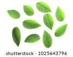 green leaves of gooseberry ... | Shutterstock . vector #1025643796