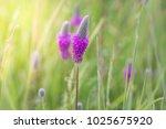 Purple Prairie Clover Wild...