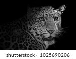 close up of leopard isolated on ... | Shutterstock . vector #1025690206