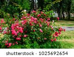 rose bush on a flowerbed in the ... | Shutterstock . vector #1025692654