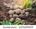fresh organic potatoes in the... | Shutterstock . vector #1025699059