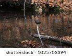 american dipper in the water | Shutterstock . vector #1025703394