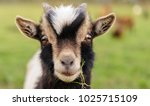 Close Up Of A Young Goat  With...