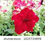 fresh  flower flora  red ... | Shutterstock . vector #1025724898