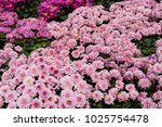 blooming flower in garden.... | Shutterstock . vector #1025754478