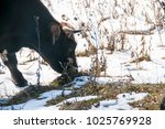 angus cow grazing in the snow... | Shutterstock . vector #1025769928