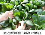 harvesting green leafy vegetable | Shutterstock . vector #1025778586