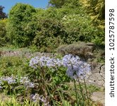 Small photo of Agapanthus (African Lily) in a Colourful Summer Herbaceous Border in a Cottage Garden at Marwood Hill in Rural Devon, England, UK