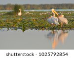 white pelican  pelecanus... | Shutterstock . vector #1025792854