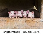 Four Adorable Young Pink Pigs...