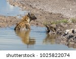 hyena sits in a pool of water... | Shutterstock . vector #1025822074