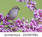 Chipping Sparrow Perched In A...