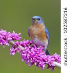 eastern bluebird on flowering... | Shutterstock . vector #102587216