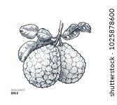 bergamot illustration. engraved ... | Shutterstock .eps vector #1025878600